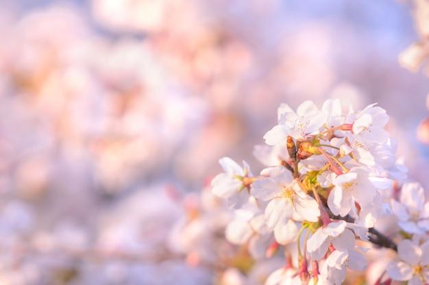 Kwiat wiśni wiosną na tle lub skopiuj miejsce na tekst