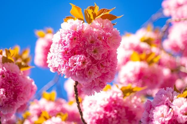 Kwiat wiśni. wiśnia sacura. piękny kwiatowy wiosna streszczenie tło natury