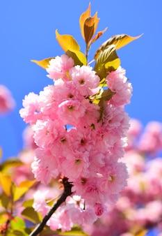 Kwiat wiśni. wiśnia sacura. tło wiosna kwiatów. kwitnące drzewo na tle przyrody. wiosenne kwiaty