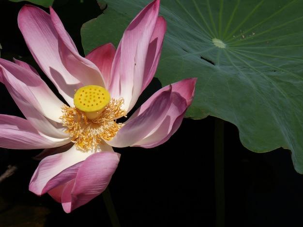 Kwiat z różowe płatki i żółty centrum z kropkami