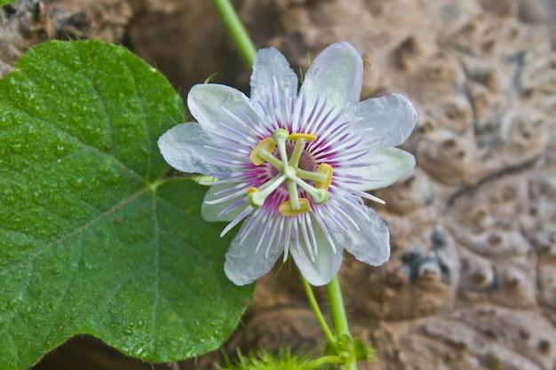 Kwiat z tajlandii