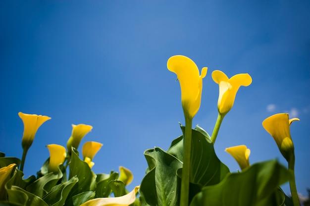 Kwiat zantedeschia lub żółty aron