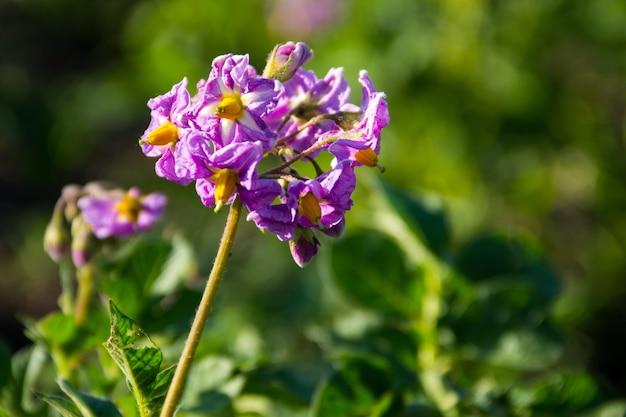 Kwiat ziemniaka w ogrodzie