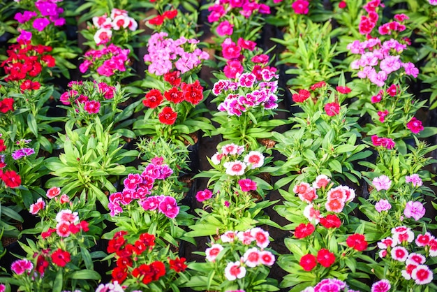 Kwiatki natury z zielonym liściem - różowy i czerwony kolorowy dianthus chinensis kwiat tło