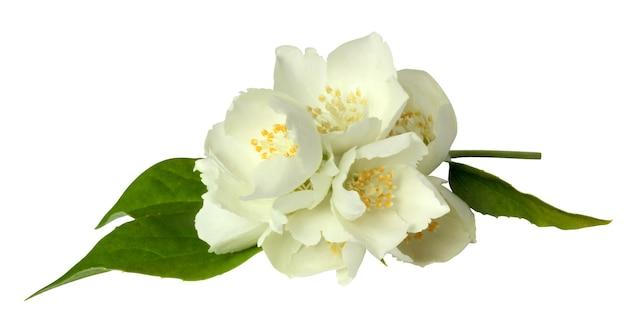 Kwiatostan jaśminu na białym tle na białej powierzchni