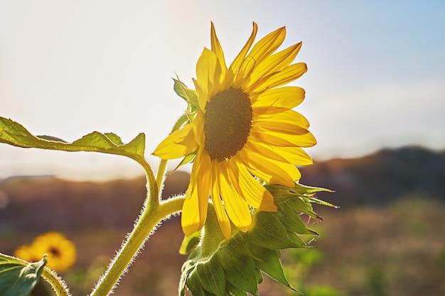 Kwiatostan słonecznika przeciw latem błękitne niebo