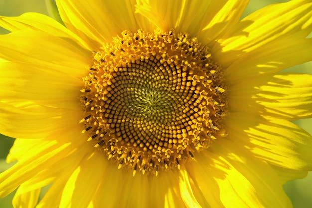 Kwiatostan słonecznika z bliska