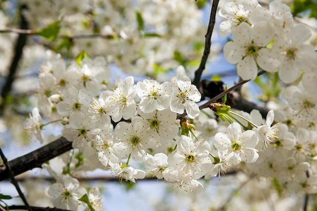 Kwiatostan wiśni sfotografowany z bliska. wiosna