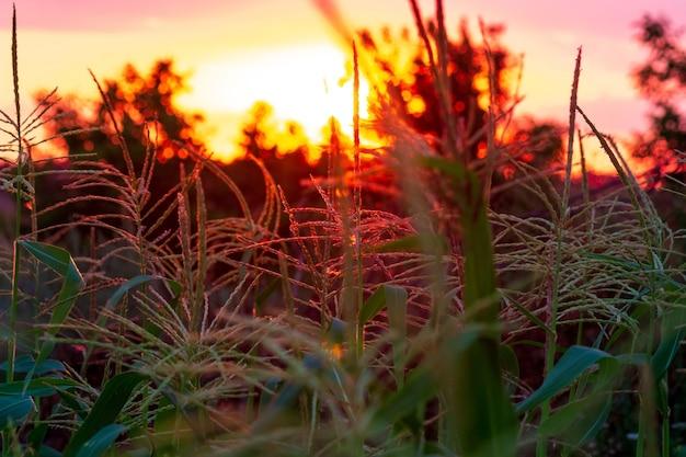 Kwiatostany kukurydzy kołyszą zbliżenie zachodzącego słońca. pojęcie rolnictwa i zbiorów