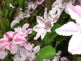 Kwiatów podwórko, różowy
