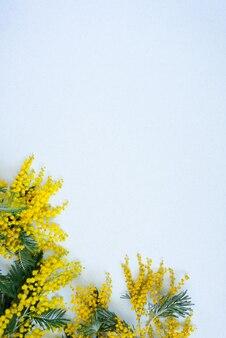 Kwiatowa rama oddziałów żółtej mimozy na białym tle. kwiaty dnia kobiety. płaski świeckich, widok z góry.