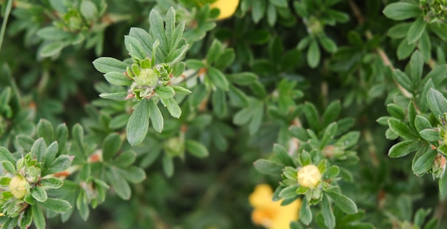 Kwiatowe zielone tło. kwiat chryzantemy i płatki zielonych róż. miejsce na tekst. zbliżenie.