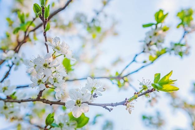 Kwiatowo kwitnąca wiosna wiśnia z białymi kwiatami