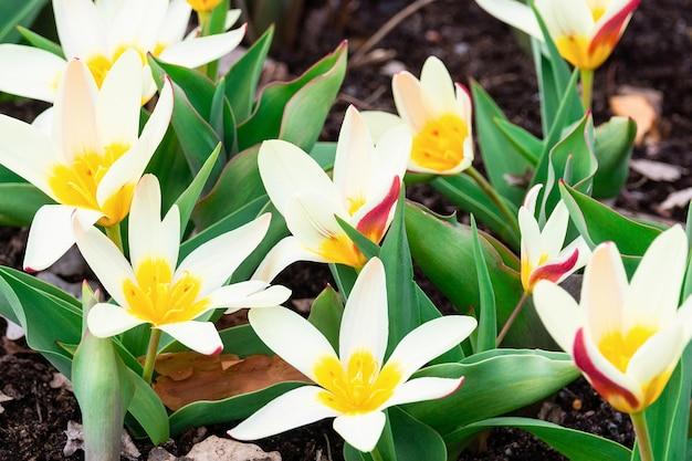 Kwiatowy biały botaniczny tulipan