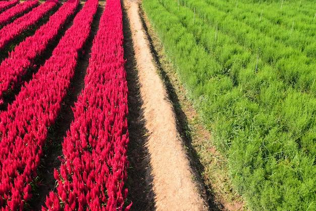 Kwiatowy krajobraz ogrodowy pole kwiatowe z czerwono-zieloną farmą roślin, dekoracje kwiatowe celosia plumosa