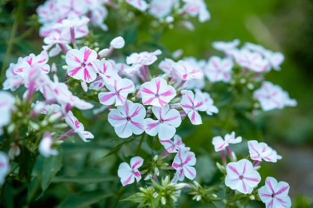 Kwiatowy krajobraz wnosi zamieszki w kolorowe ulice miasta, miejskie łóżka z kwiatami, odpowiedzialność za środowisko. jasno różowe i białe petunie w tle kwiatów. klomb w letnim ogrodzie.