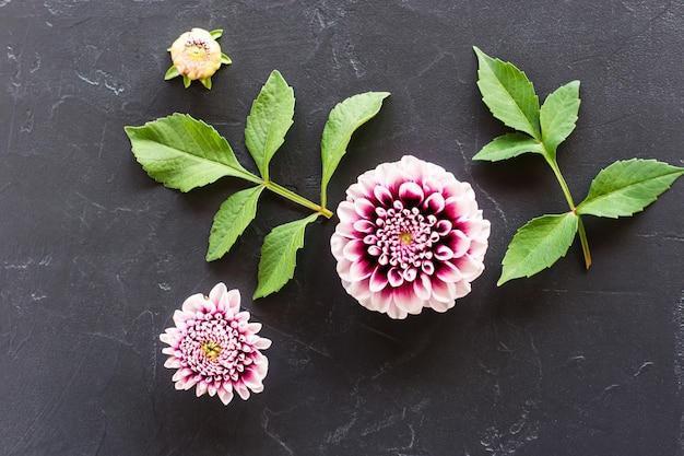 Kwiatowy układ głowy i pąków fioletowej dalii z zielonymi liśćmi. widok z góry.