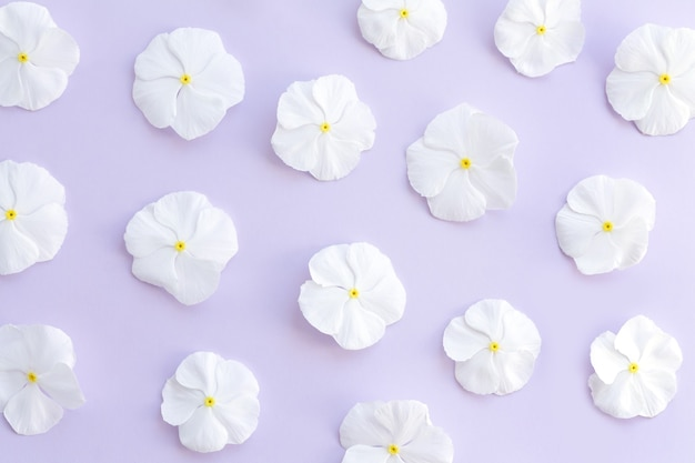 Kwiatowy wzór białych kwiatów catharanthus. tło pąków kwiatowych. płaski widok z góry.