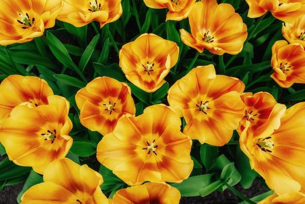 Kwiatu pole z kolorowymi tulipanami.