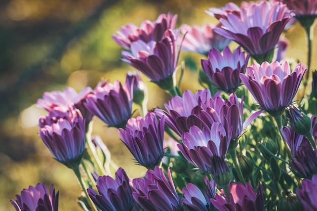 Kwiaty afrykańskiej stokrotki w ogrodzie