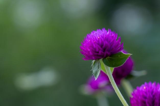 Kwiaty amarantusa fioletowego grobe lub bachelor's button