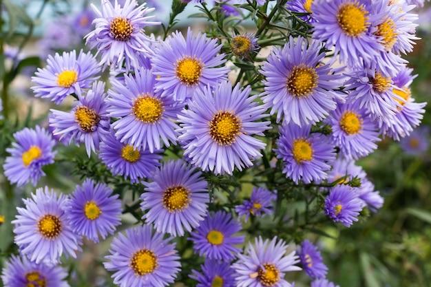 Kwiaty astry w ogrodzie