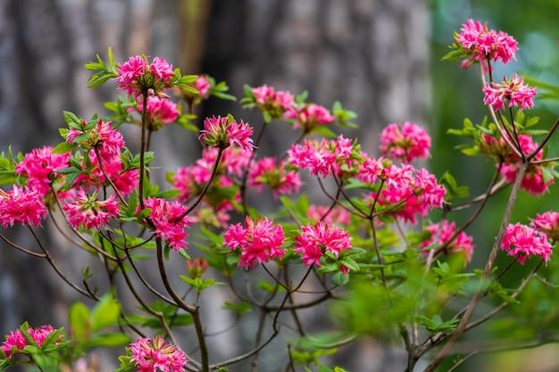 Kwiaty azalii. karłowata piękna roślina kwitnąca. zdjęcie wysokiej jakości