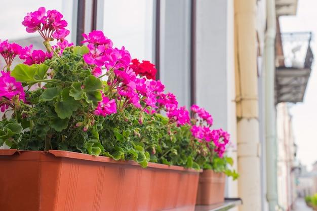 Kwiaty balkonowe, kwiat różowej pelargonii w mieście