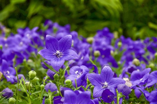 Kwiaty balonowe kwitną naturalnym tłem.