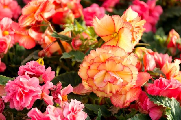 Kwiaty begonii z bliska