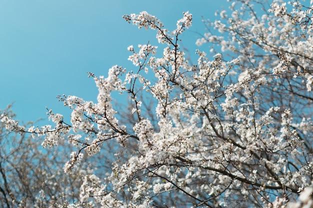 Kwiaty białe wiśniowe drzewo w ogrodzie wiosną na tle niebieskiego nieba