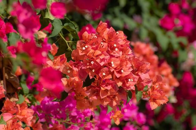 Kwiaty bougainvillea lub papierowe.