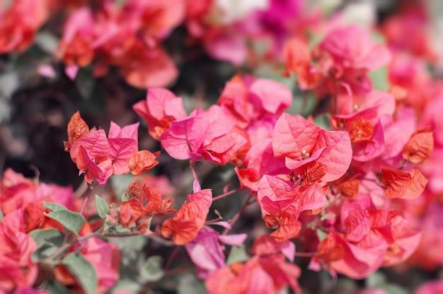 Kwiaty bugenwilli o jasnoczerwonym kolorze