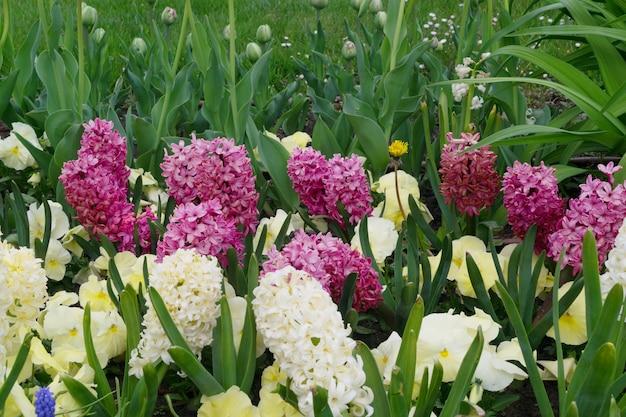 Kwiaty bzu i białego hiacyntu lub hiacynt w ogrodzie wiosną z bliska. kwitnące niebiesko-fioletowe pachnące hiacynty