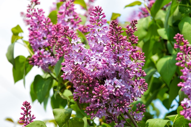 Kwiaty bzu kwitnące na drzewie w słoneczny dzień, wiosna. kwitną, kwitną, kwitną. koncepcja sezonu wiosennego. natura, piękno, środowisko. nowe życie, wzrost.