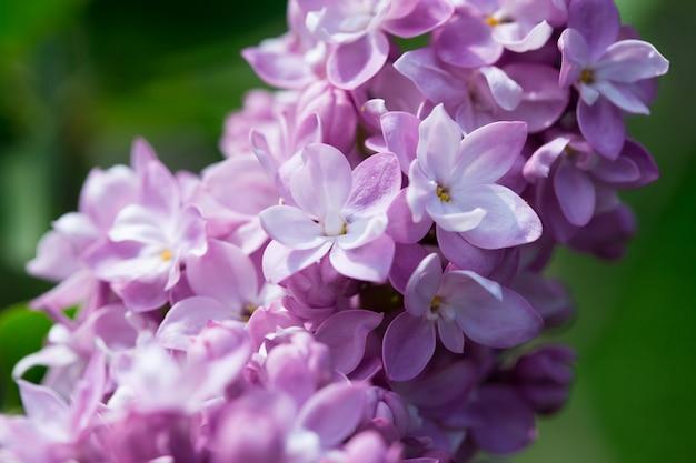 Kwiaty bzu. piękne tło wiosna kwitnienia bzu. selektywne nieostrość, płytka głębia ostrości. zamazany obraz, tło wiosna.