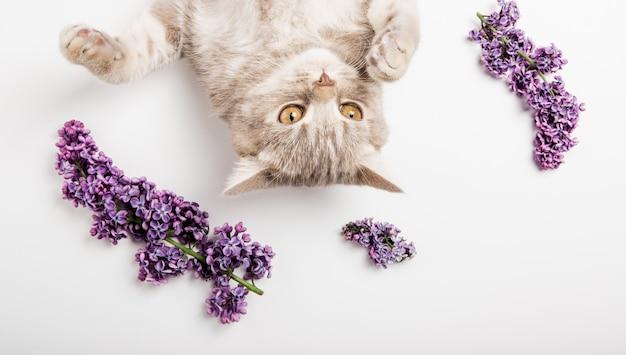 Kwiaty bzu z ładny kot, na białym tle.