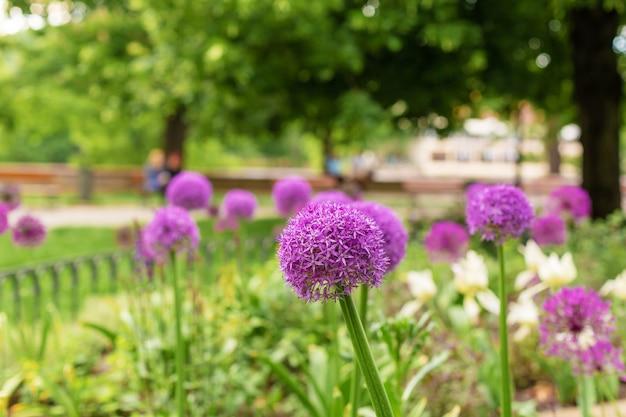 Kwiaty cebuli, fioletowe kwiaty w kwietniku