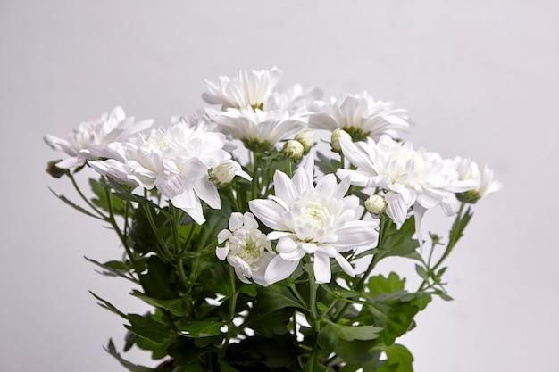 Kwiaty chryzantemy z białymi płatkami, bukiet, roślina doniczkowa. chryzantema roślina, zbliżenie, selektywna ostrość