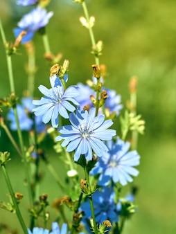 Kwiaty cykorii na łące.