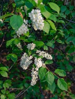 Kwiaty czeremchy
