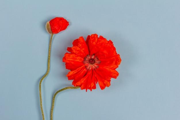 Kwiaty czerwone maki na niebieskim tle zbliżenie widok z góry z kopią przestrzeni płaskiej lay