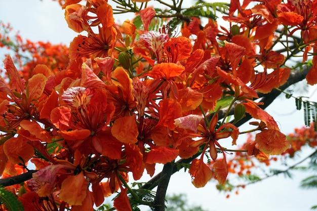 Kwiaty czerwone pawie lub kwiaty caesalpinia pulcherrima, które kwitną w jasnych kolorach