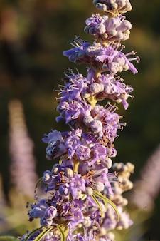Kwiaty czystego drzewa vitex agnus-castus,