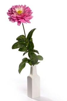 Kwiaty dalii na białym tle
