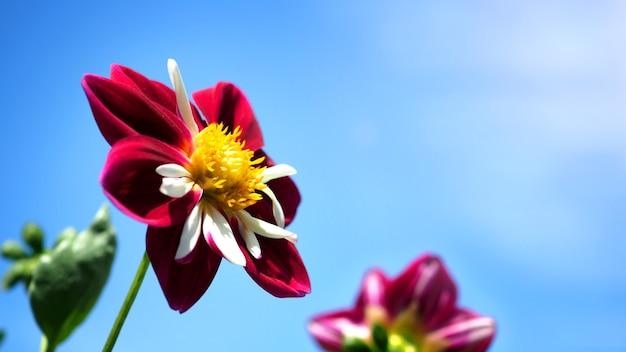 Kwiaty dalii w zbliżeniach lub zdjęciach makro, które mają jaskrawoczerwony kolor i jasnoniebieskie niebo
