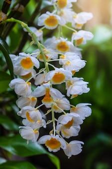 Kwiaty dendrobium thyrsiflorum