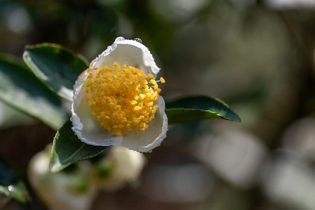 Kwiaty drzewa herbacianego w deszczu, płatki z kroplami deszczu