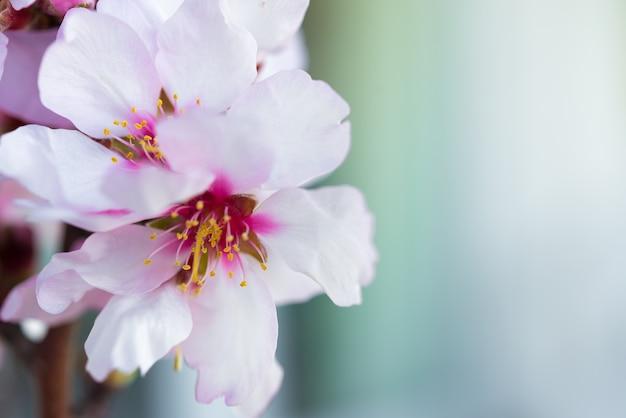 Kwiaty drzewa migdałowego