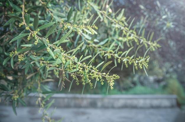 Kwiaty drzewa oliwnego. kwitnące gałęzie drzewa oliwnego wiosną, nieostrość